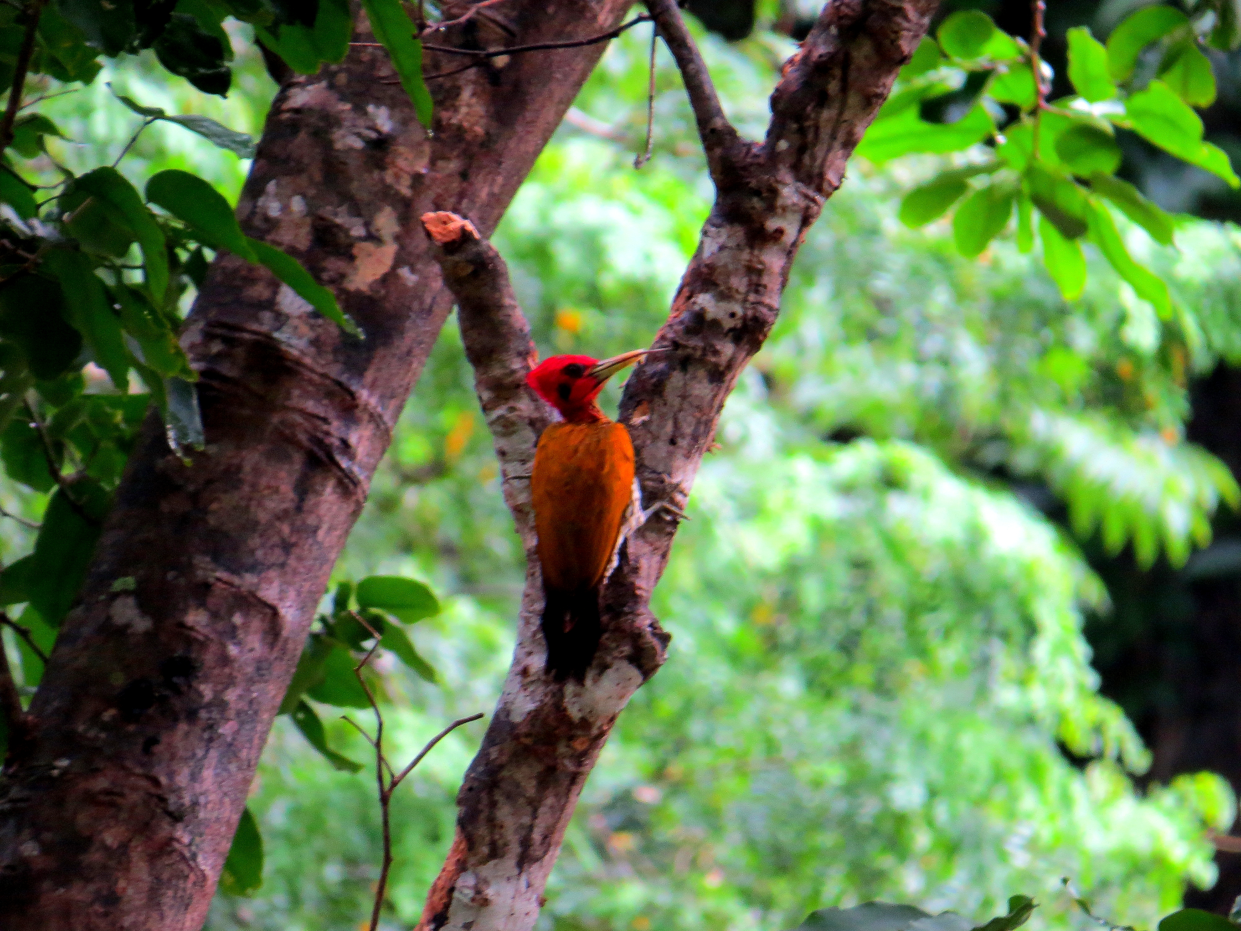 The lifer I got most excited about: Greater Flameback