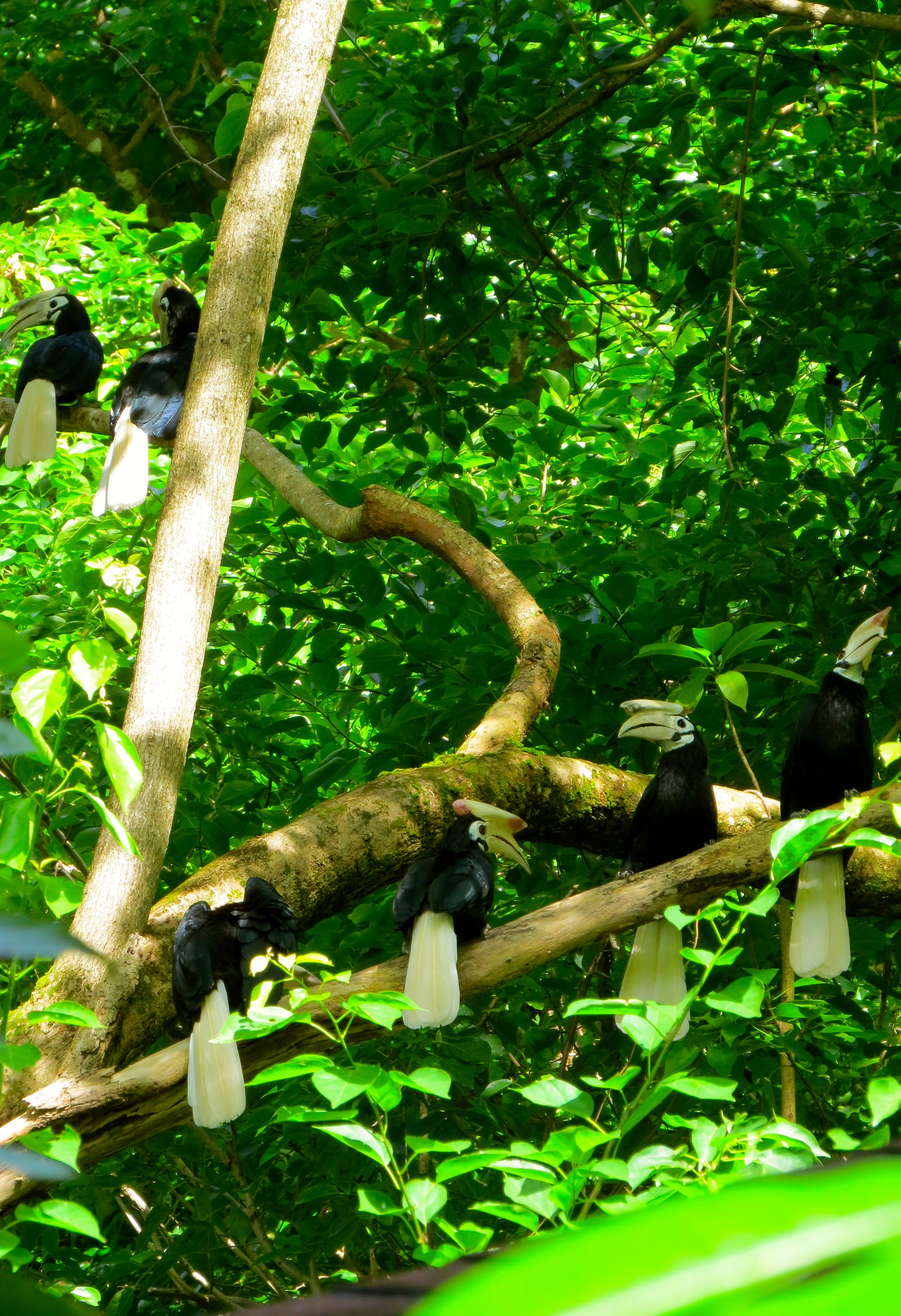 Typical hornbill family in Lagen