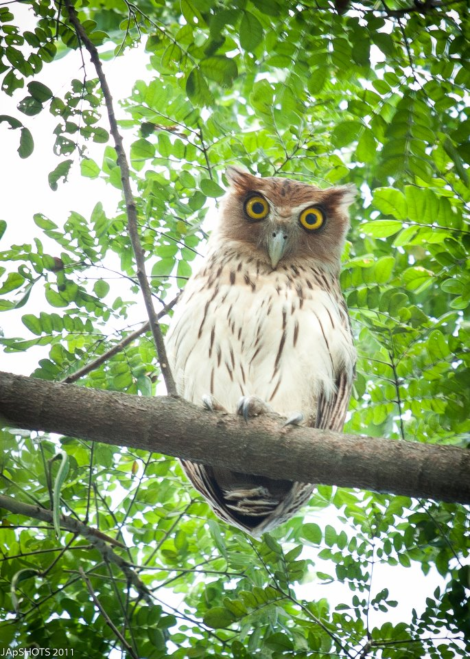 Philippine Eagle Owl in Balara