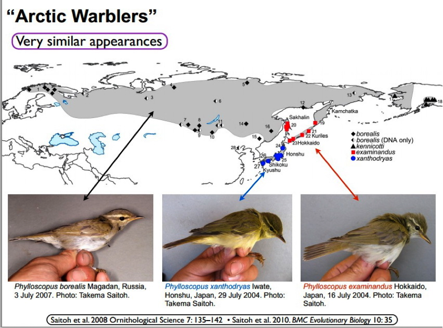 "Figure extracted from the paper ""The Arctic Warbler Phylloscopus borealis– three anciently separated cryptic species revealed"""