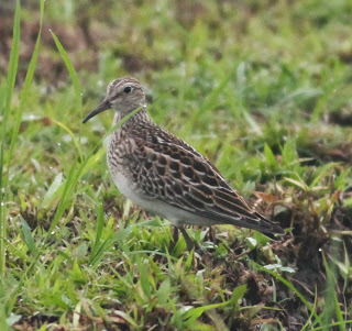 Pectoral Sandpiper, juvenile. This bird has an extremely large range and stable population. Photo by Paul Bourdin.