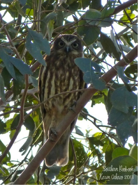 Southern Boobook at Oxley Creek Common, Brisbane, Queensland