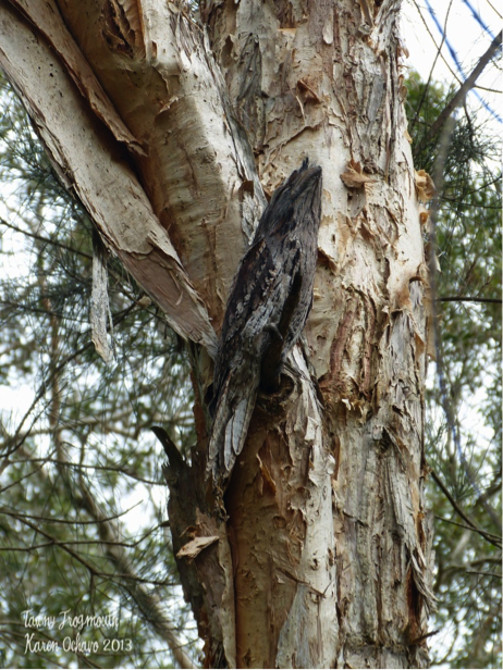 7 frogmouth