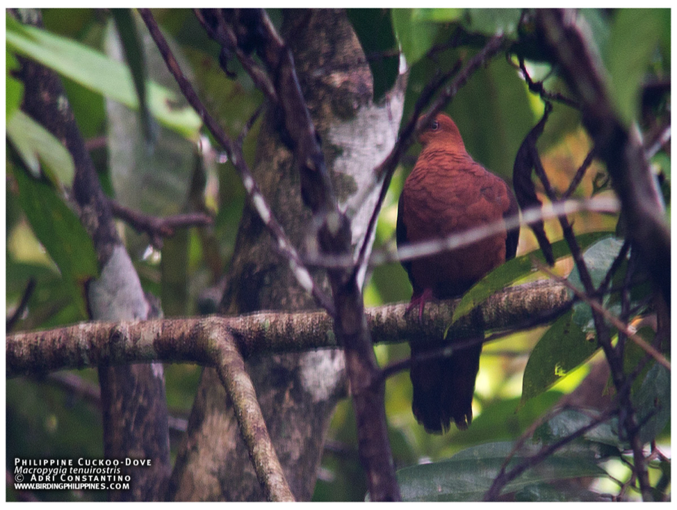 A Philippine Cuckoo-Dove playing hide and seek as the day is about to end. Photo by Adri Constantino