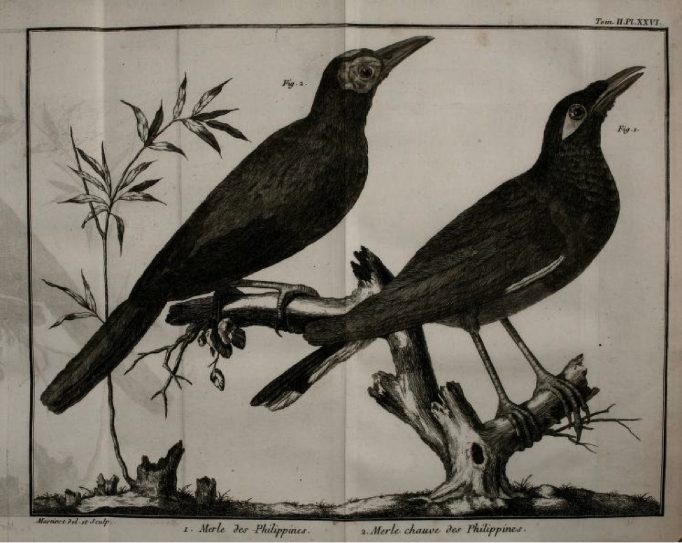 Brisson: (left) Merle chauve des Philippines (Coleto) ; (right) Merle des Philippines (Common Myna)