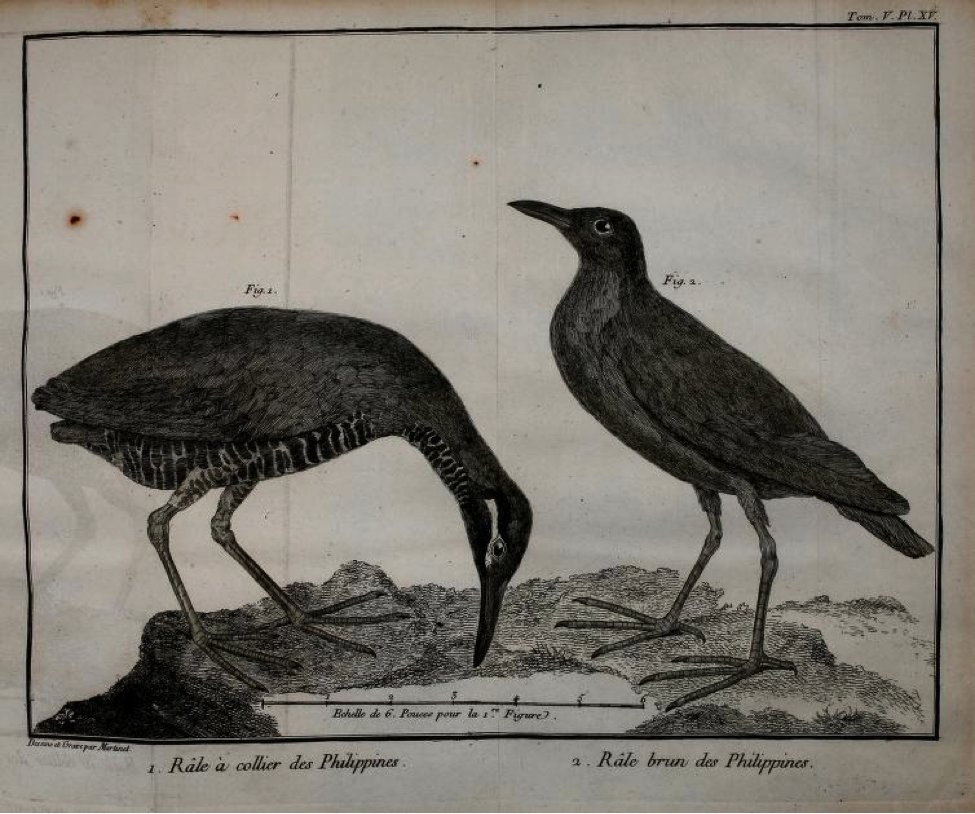 Brisson: (left) Rale a collier des Philippines (Barred Rail) ; (right) Rale brun des Philippines (Ruddy-breasted Crake)