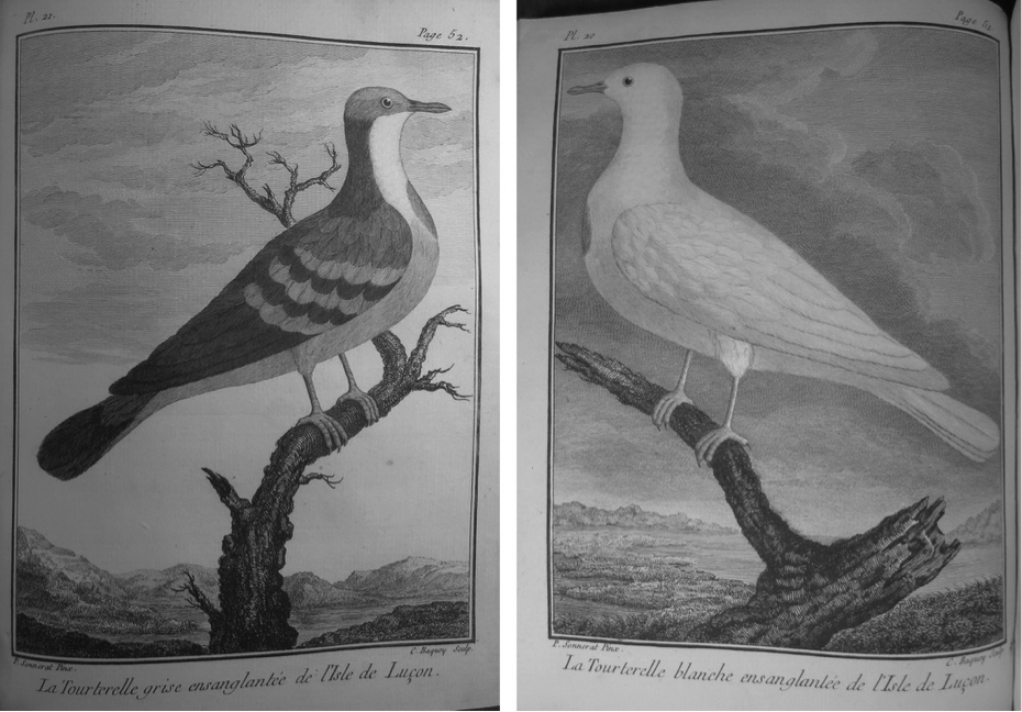 Sonnerat's illustrations of Luzon Grey Bleeding Dove and Luzon White Bleeding Dove