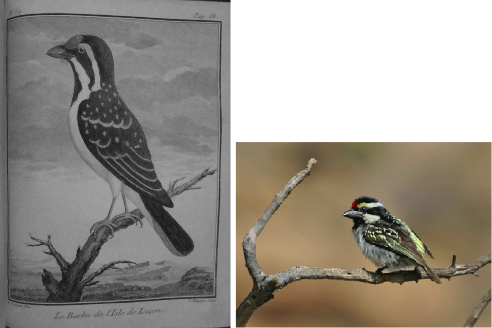 Left: Sonnerat's illustration of Luzon Island Barbet. Right: Pied Barbet in Namibia (from the Internet)
