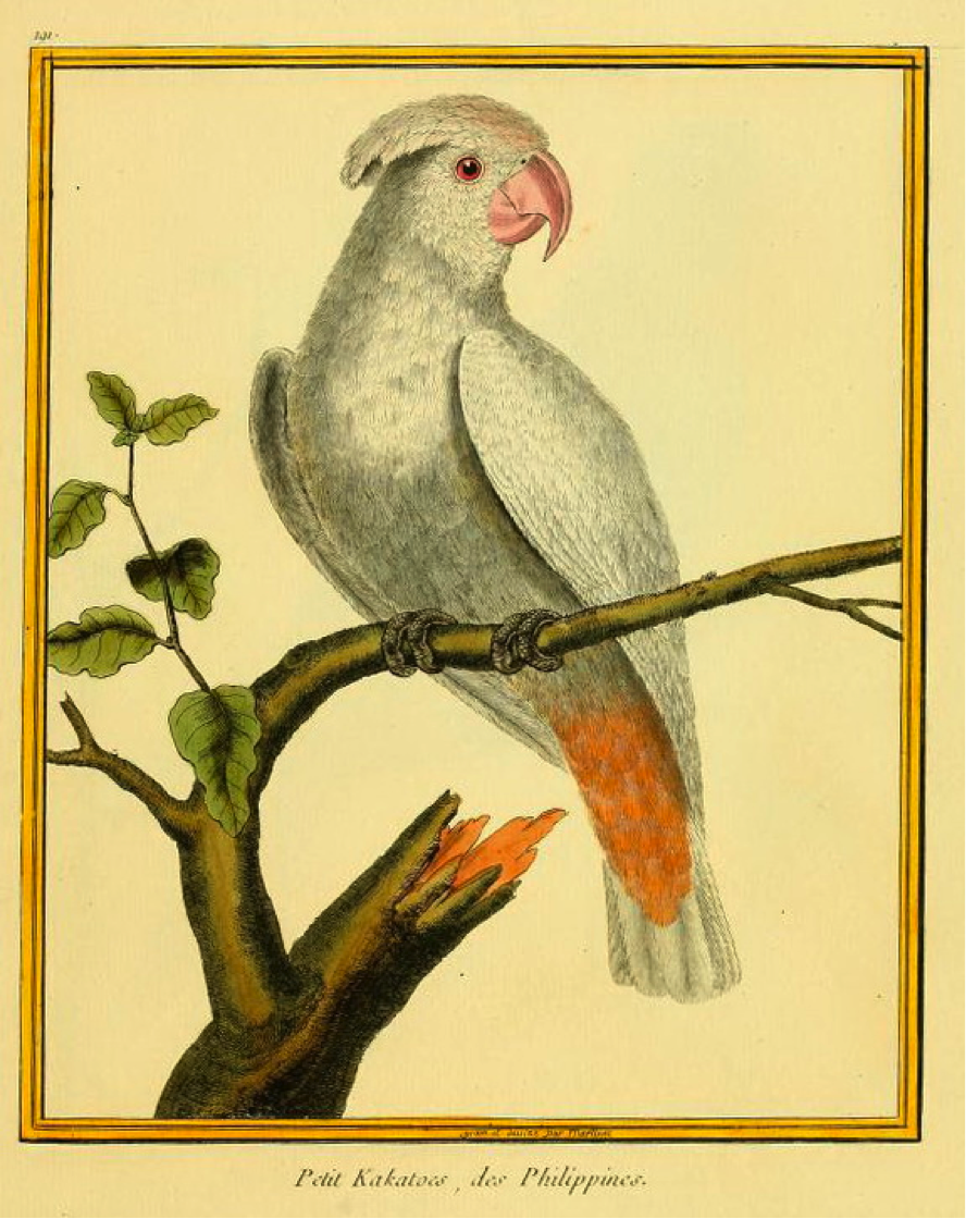 Buffon/Martinet: Petit Kakatoes, des Philippines (Philippine Cockatoo)