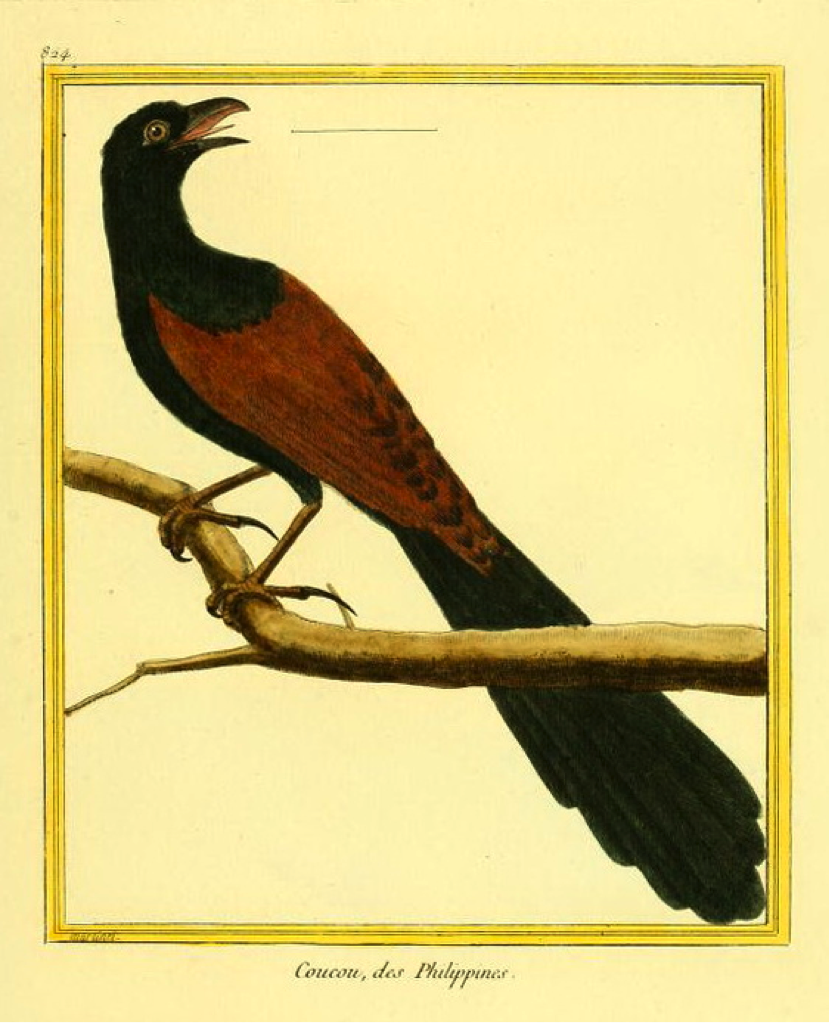 Buffon/Martinet: Coucou, des Philippines (Philippine Coucal)