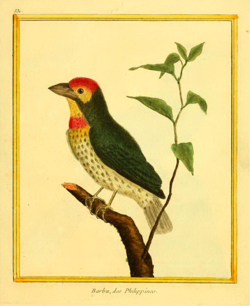 Buffon/Martinet: Barbu, des Philippines (Coppersmith Barbet)