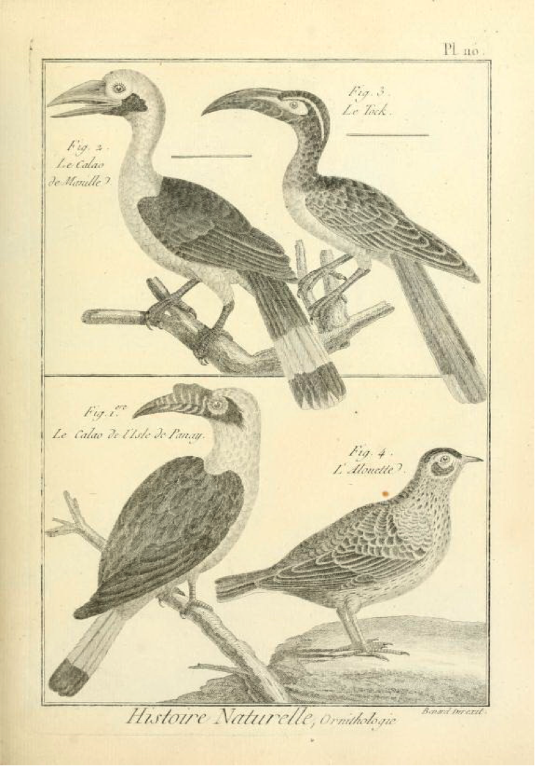 Plate from Bonnaterre's Tableau Encyclopédique et Méthodique: (top left) Le Calao de Manille (Luzon Hornbill); (bottom left) Le Calao de l'Isle de Panay (Visayan Hornbill)