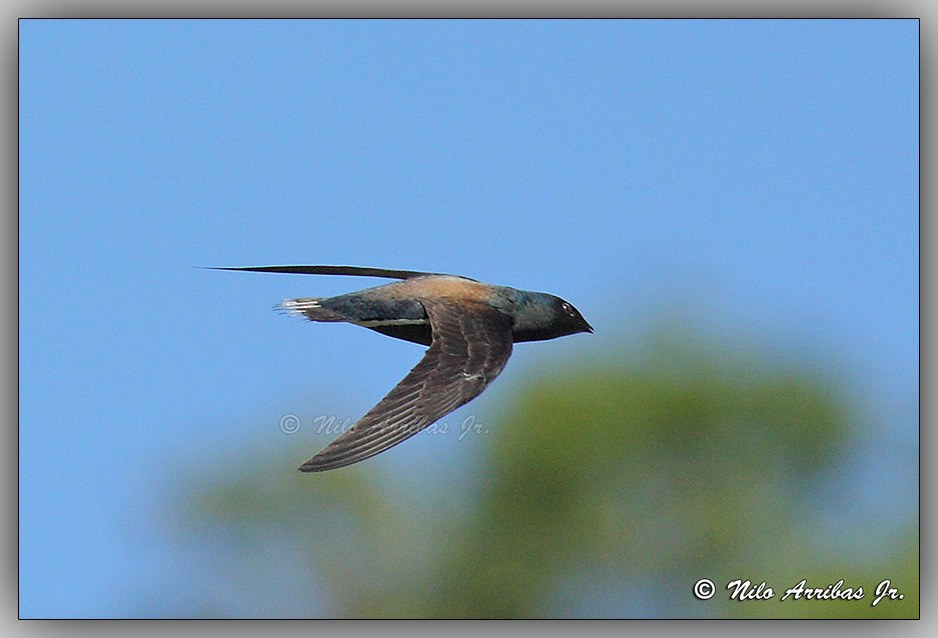 Brown-backed Needletail. Photo by Nilo Arribas