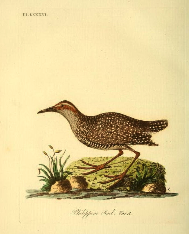 Latham's A General Synopsis of Birds: Buff-banded Rail