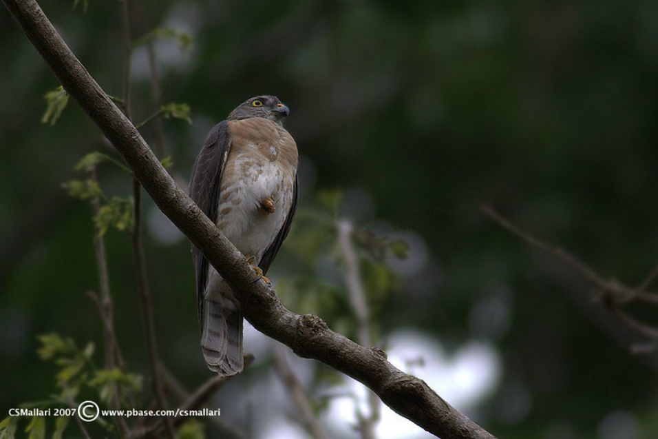 In 2007 alone, an estimated 230,000 raptors—mostly Chinese Sparrowhawks, like this one—were spotted by an Indonesian observer, likely en route to the Philippines. Nobody knows where they went while in the country. Photo by Tina S. Mallari.