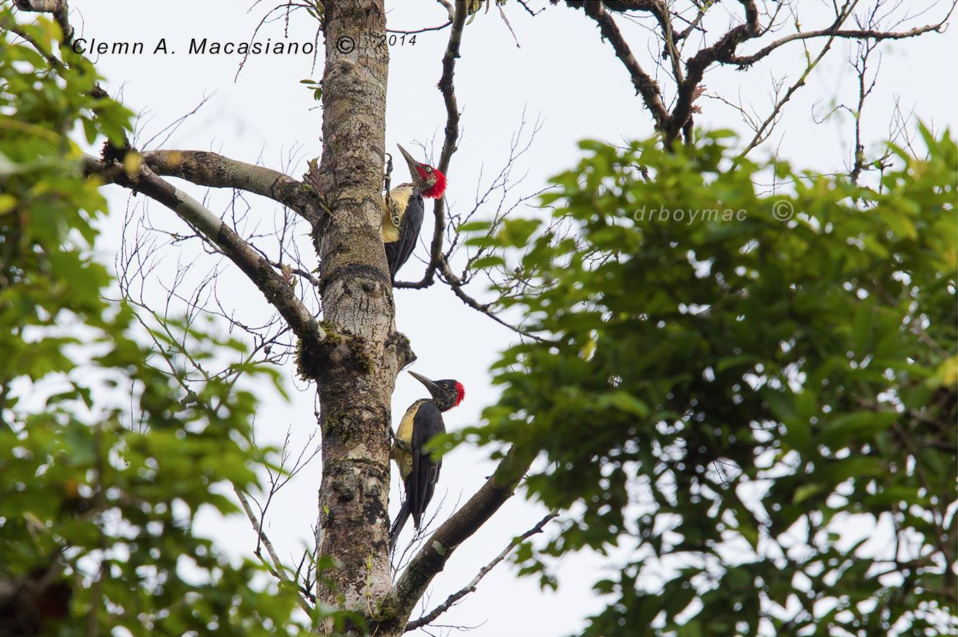 White-bellied Woodpecker Dryocopus javensis by Clemn Macasiano.