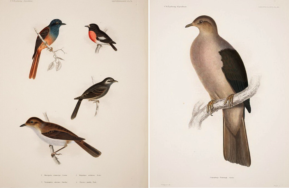 Cassin's Atlas of the U. S. Exploring Expedition (1868): (top left) Blue-headed Fantail; (right) Grey Imperial Pigeon