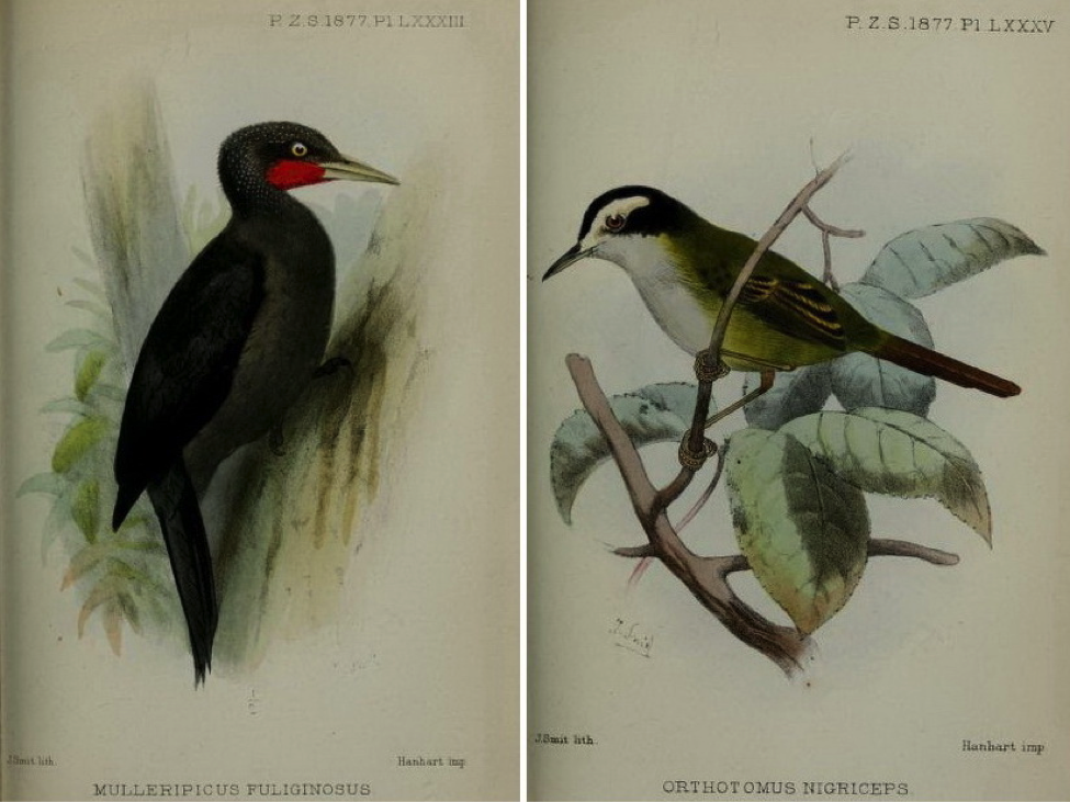 Walden's On the Collection made by Everett in the Island of Mindanao (1877): Sooty Woodpecker and Black-headed tailorbird