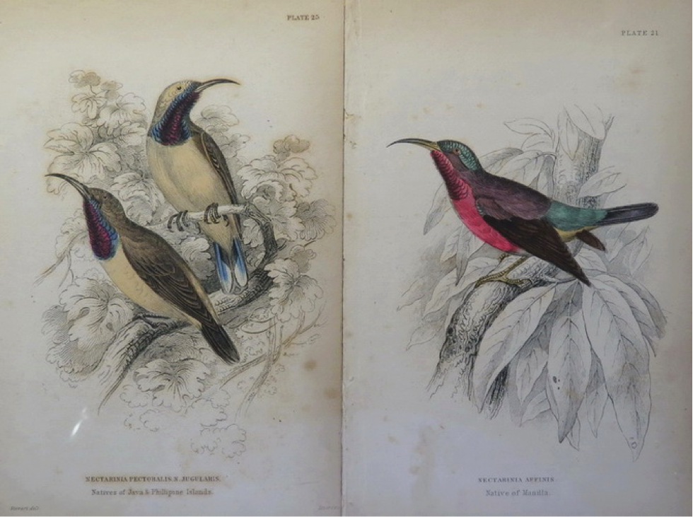 "Jardine's Natural History of Nectariniadae (1864): (left, top) Olive backed Sunbird with caption ""Native of Philippine Islands""; (right) Purple-throated Sunbird with caption ""Native of Manilla"
