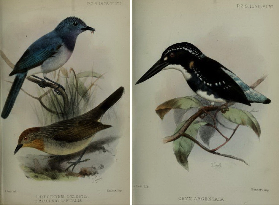 Walden's On the Collection made by Everett in the Island of Dinagat (1878): Celestial Monarch, Rusty-crowned babbler and Silvery Kingfisher