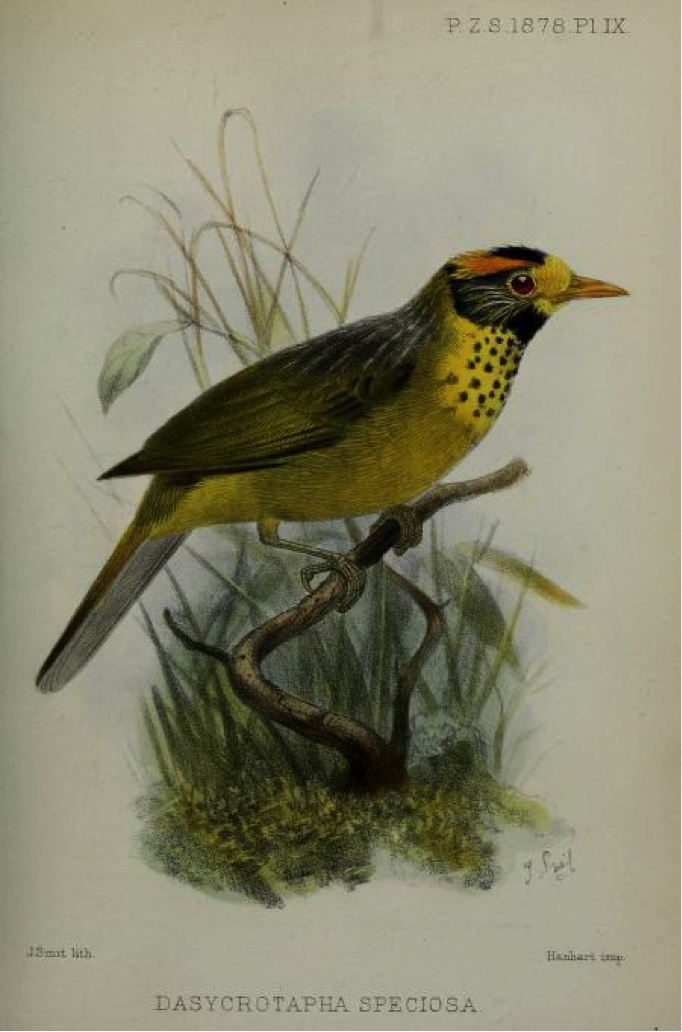 Walden's On a new Philippine Genus and Species of Bird (1878): Flame-tempered Babbler