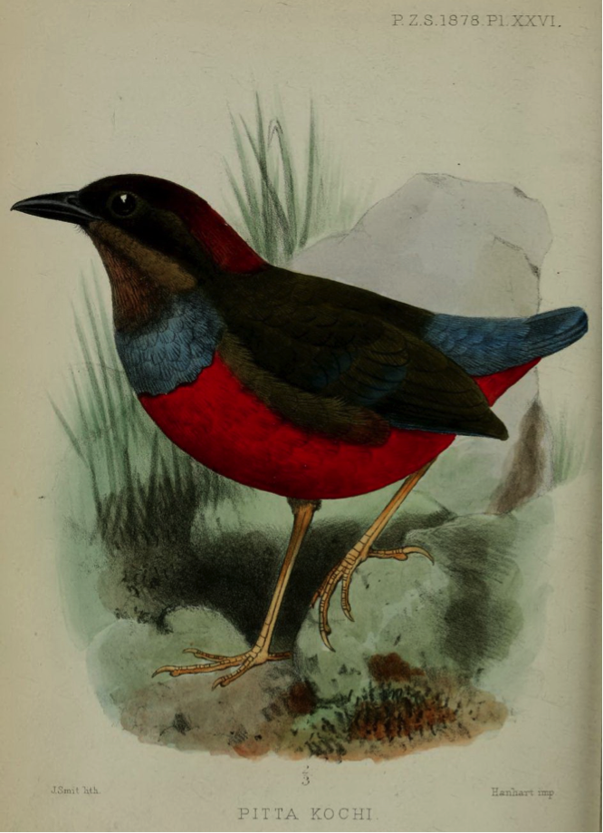 Walden's On some Luzon Birds in the Museum at Darmstadt (1878): Whiskered Pitta