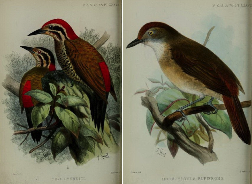 Walden's On the Collection made by Everett in the Island of Palawan (1878): Spot-throated Flameback and Melodious Babbler
