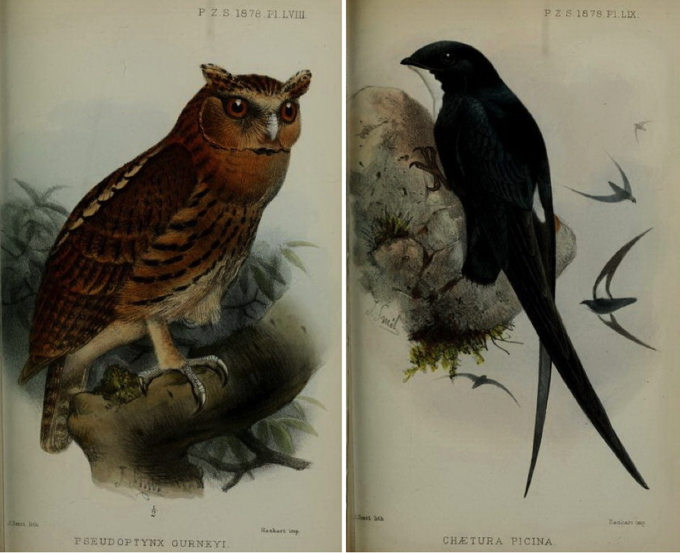 Walden's On the Collection made by Everett at Zamboanga (1878): Giant Scops Owl and Philippine Spine-tailed Swift