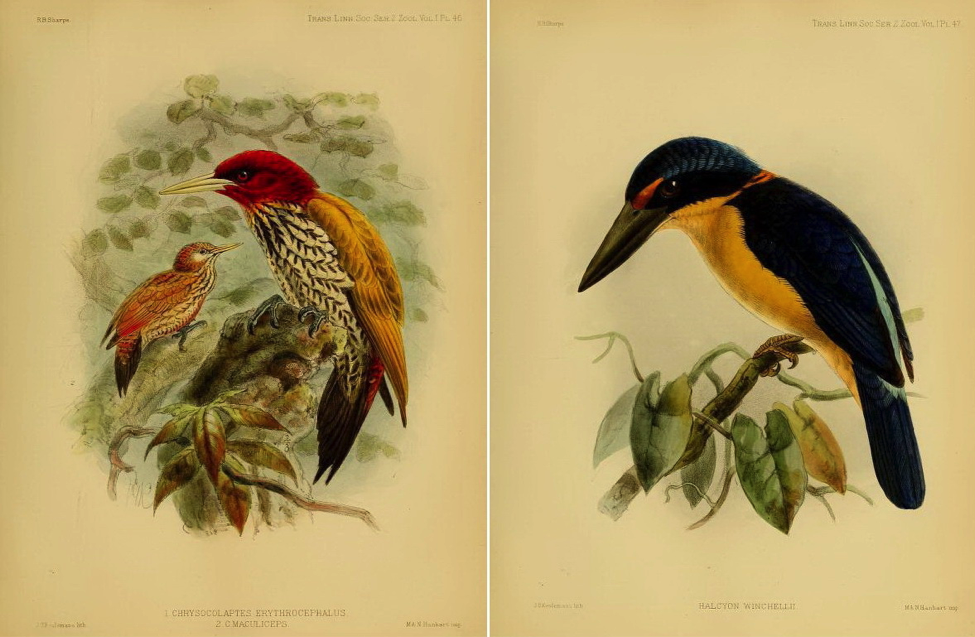 Sharpe's On the Birds collected by Professor Steere in the Philippine Archipelago (1877): Red-headed Flameback and Rufous-lored Kingfisher