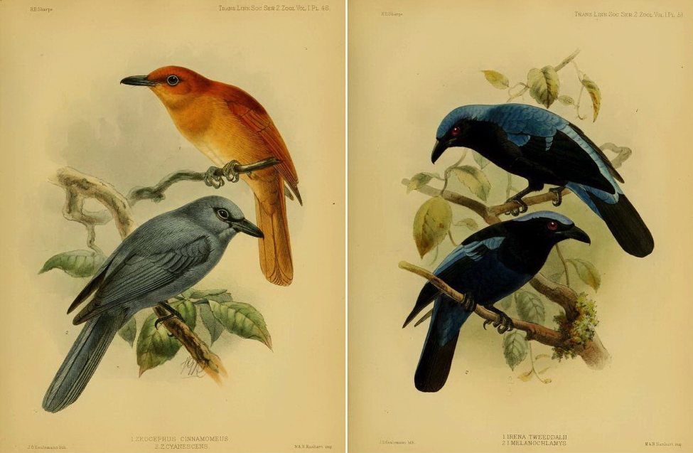 Sharpe's On the Birds collected by Professor Steere in the Philippine Archipelago (1877): Rufous Paradise Flycatcher and Blue Paradise Flycatcher; Asian Fairy-bluebird and Philippine Fairy-bluebird