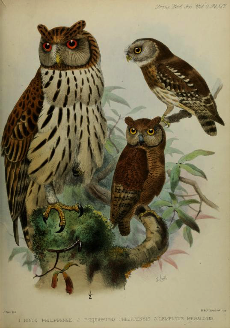 Walden's A List of Birds known to inhabit the Philippine Archipelago (1875): (left) Philippine Eagle-Owl, (top right) Luzon Hawk-Owl, (bottom right) Philippine Scops Owl