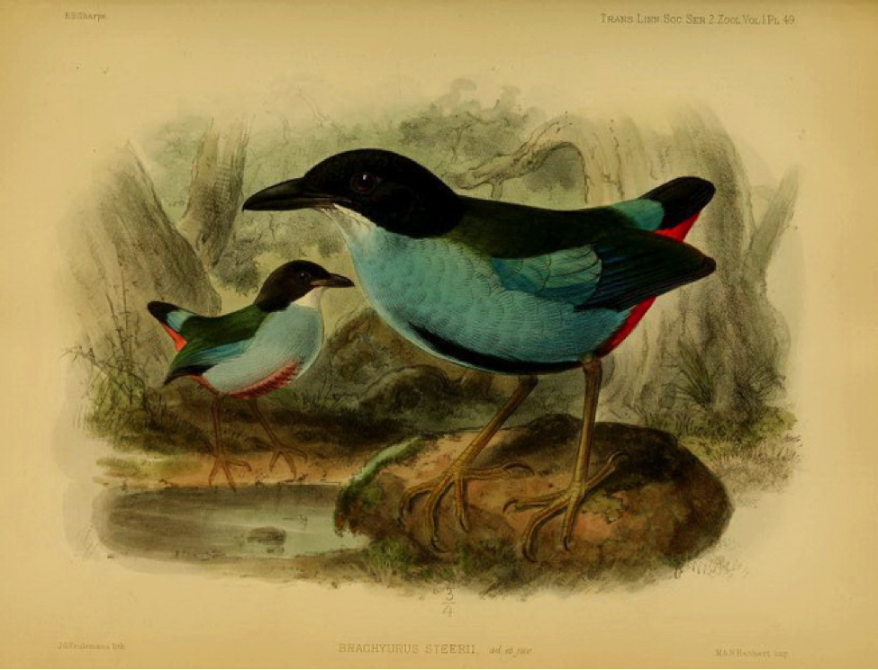 Sharpe's On the Birds collected by Professor Steere in the Philippine Archipelago (1877): Azure-breasted Pitta (or Steere's Pitta)