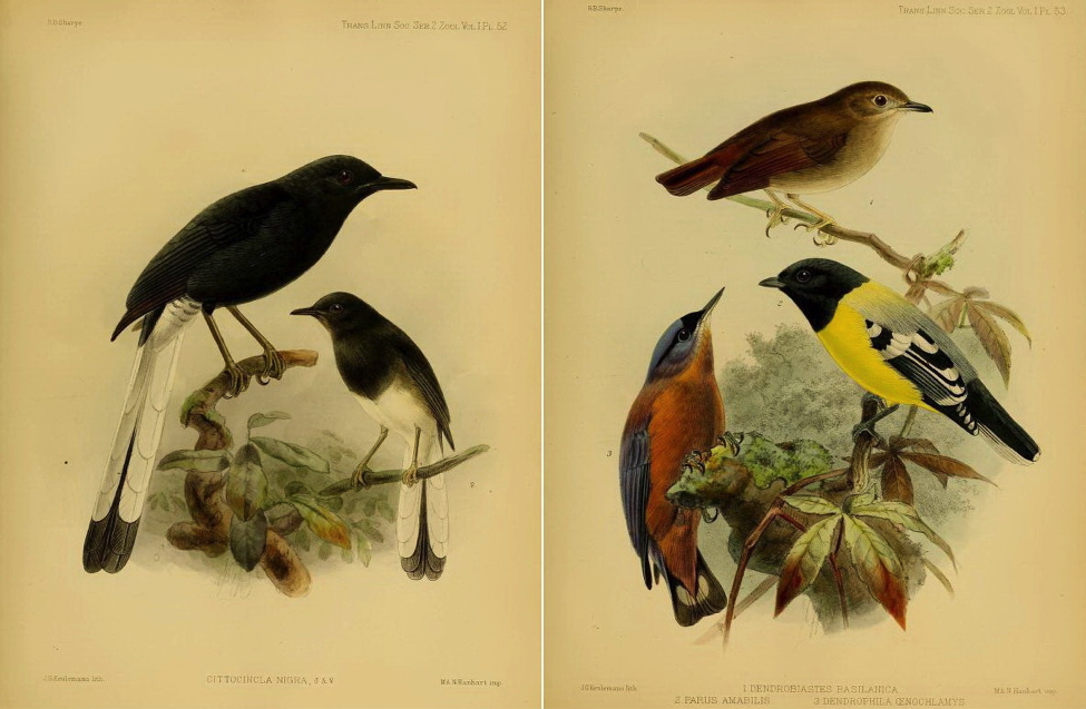 Sharpe's On the Birds collected by Professor Steere in the Philippine Archipelago (1877): White-vented Shama; Little Slaty Flycatcher, Palawan Tit and Sulphur-billed Nuthatch