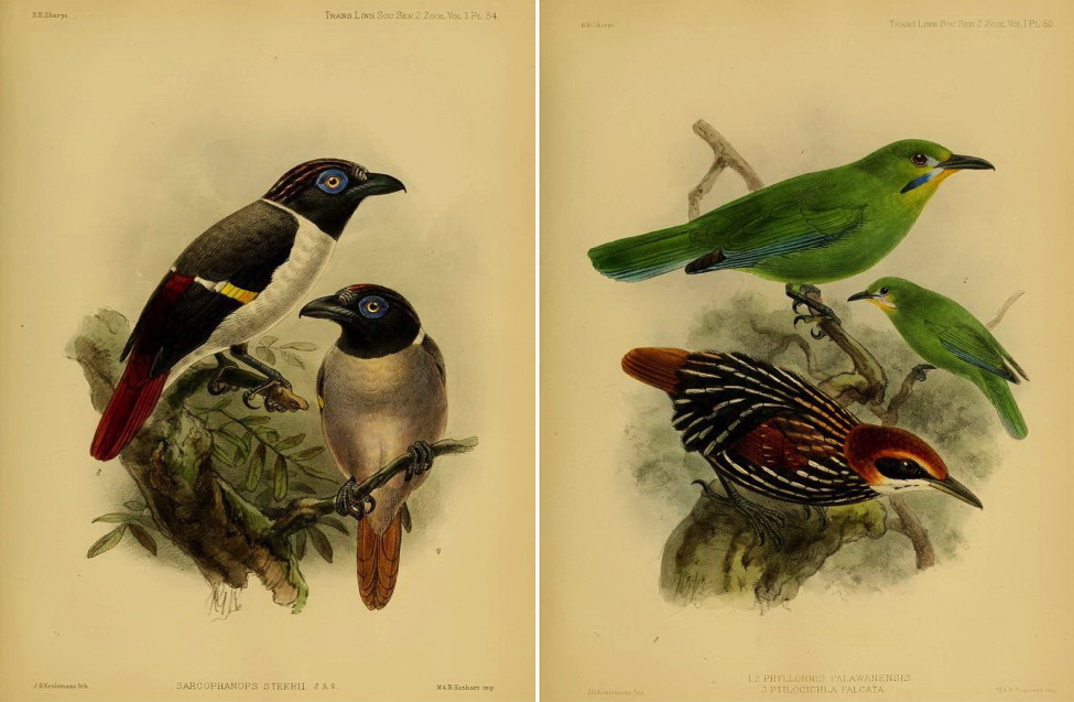 Sharpe's On the Birds collected by Professor Steere in the Philippine Archipelago (1877): Wattled Broadbill; Yellow-throated Leafbird and Falcated Wren-Babbler