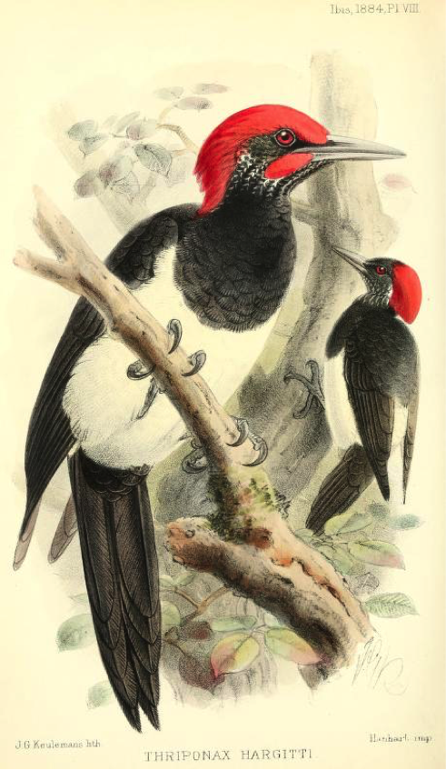Sharpe's On a Collection of Birds made in Southern Palawan by Mr. Lempriere, The ibis (1884): White-bellied Woodpecker
