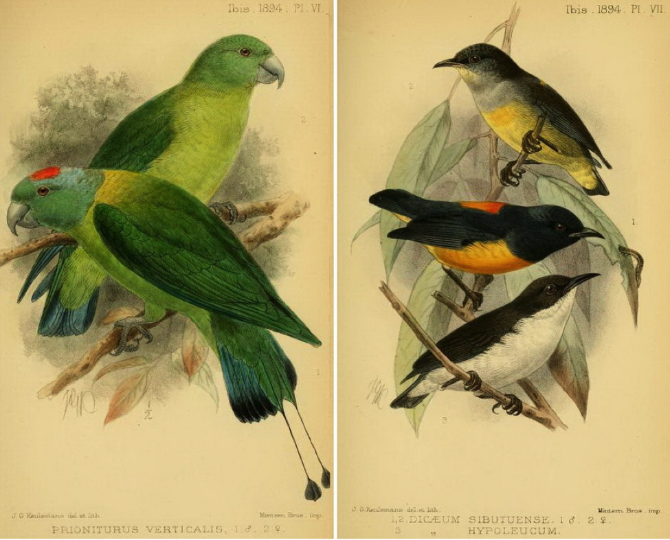 Sharpe's On a Collection of Birds sent by Mr. Alfred H. Everett from the Sulu Archipelago (1894): Blue-winged Racket-tail; Orange-bellied Flowerpecker (male and female) and Buzzing Flowerpecker