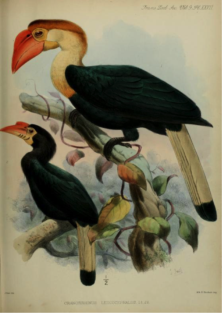 Walden's A List of Birds known to inhabit the Philippine Archipelago (1875): Writhed Hornbill