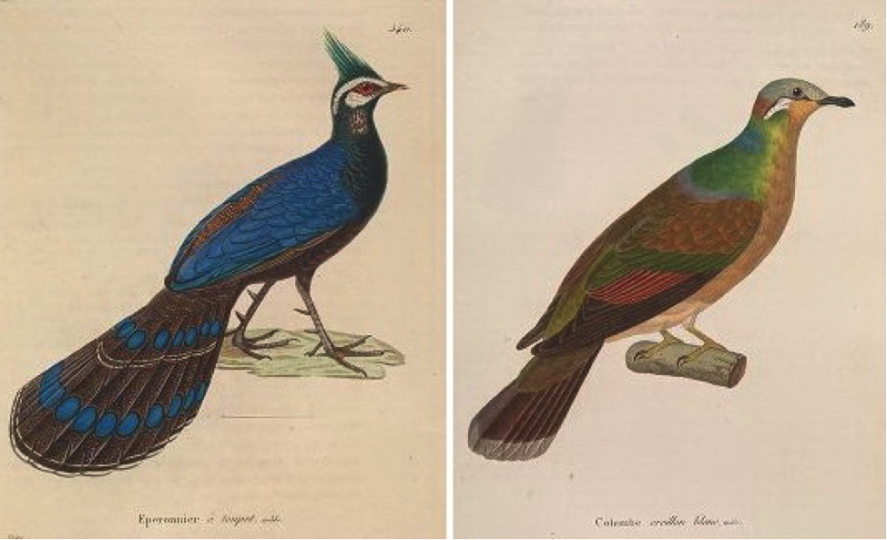 Temminck's Nouveau recueil (1838): Palawan Peacock-Pheasant and White-eared Brown Dove