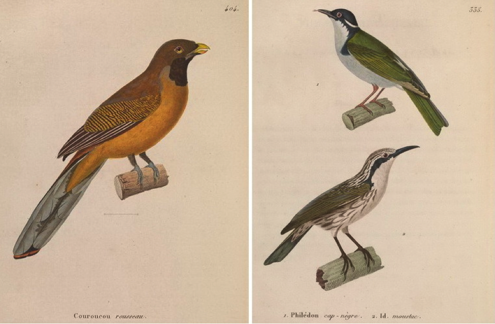 Temminck' s Nouveau recueil (1838): Philippine Trogon and (bottom right) Stripe-headed Rhabdornis