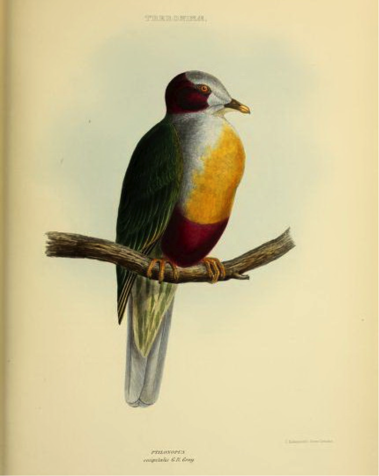 Gray's Genera of Birds (1849): Yellow-breasted Fruit Dove