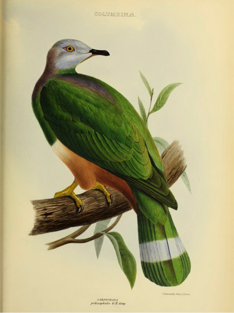 Gray's Genera of Birds (1849): Pink-bellied Imperial Pigeon