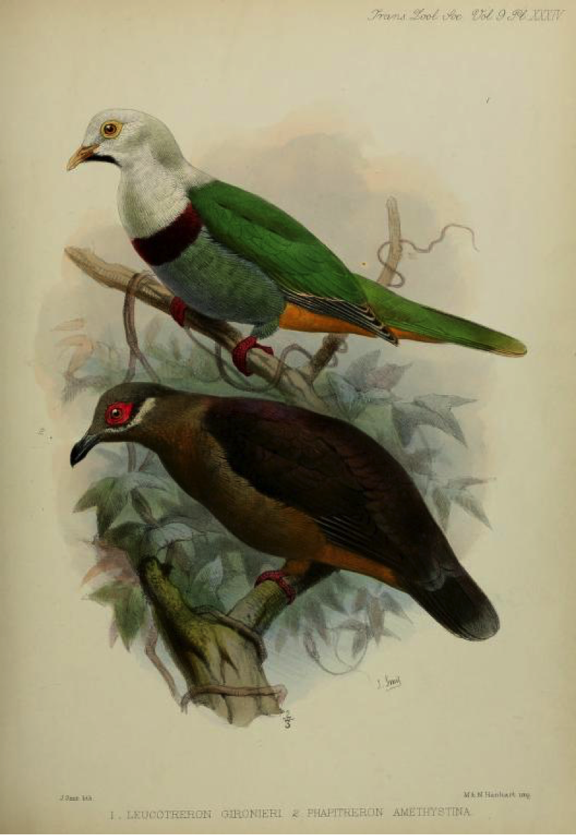 Walden's A List of Birds known to inhabit the Philippine Archipelago (1875): Black-chinned Fruit Dove and Amethyst Brown Dove