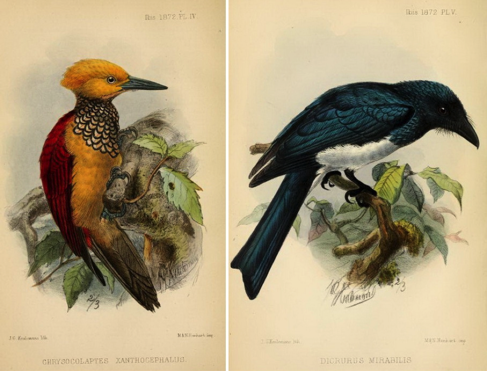 Walden and Layard's On Birds recently observed or obtained in the Island of Negros (1872): (left) Yellow-faced Flameback and (right) Balicassiao race mirabilis
