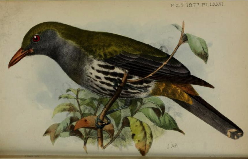 Walden's On the Collection made by Everett in the Island of Zebu (1877): Philippine Oriole