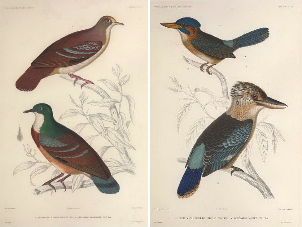 Hombron and Jacquinot (1853): (bottom left) Mindanao Bleeding-heart; (top right) Blue-capped Wood Kingfisher