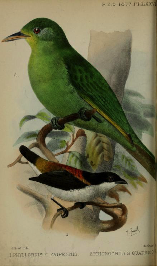 Walden's On the Collection made by Everett in the Island of Zebu (1877): Philippine Leafbird and Cebu Flowerpecker