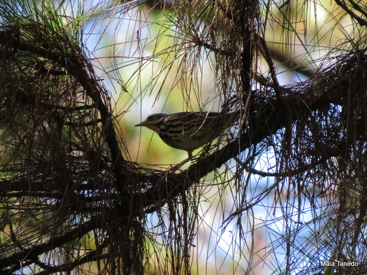 Olive-backed Pipit Challenging to photograph as they kept walking around!