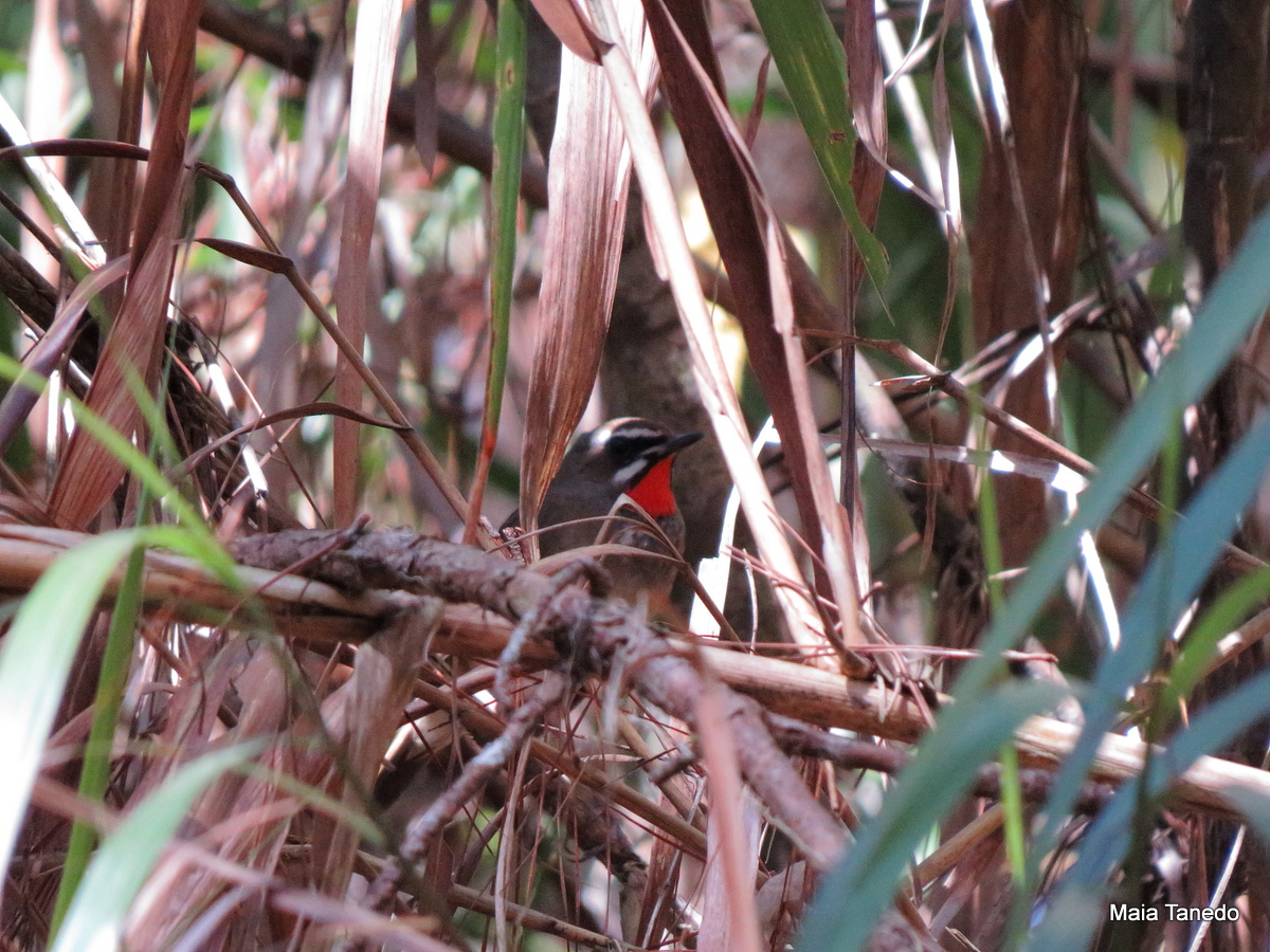 A surprise Rubythroat in Baguio!