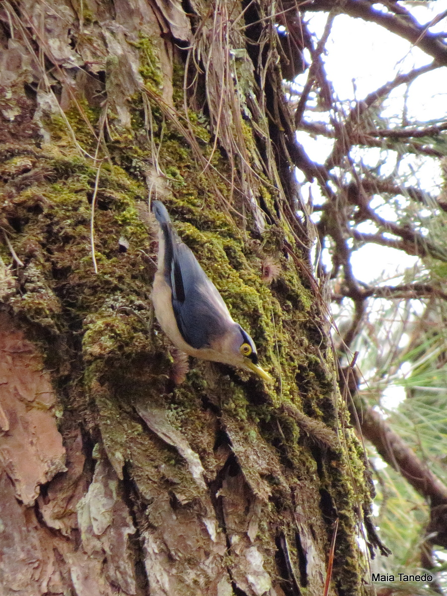 One of the many Sulfur-billed Nuthatches we saw in the trail.