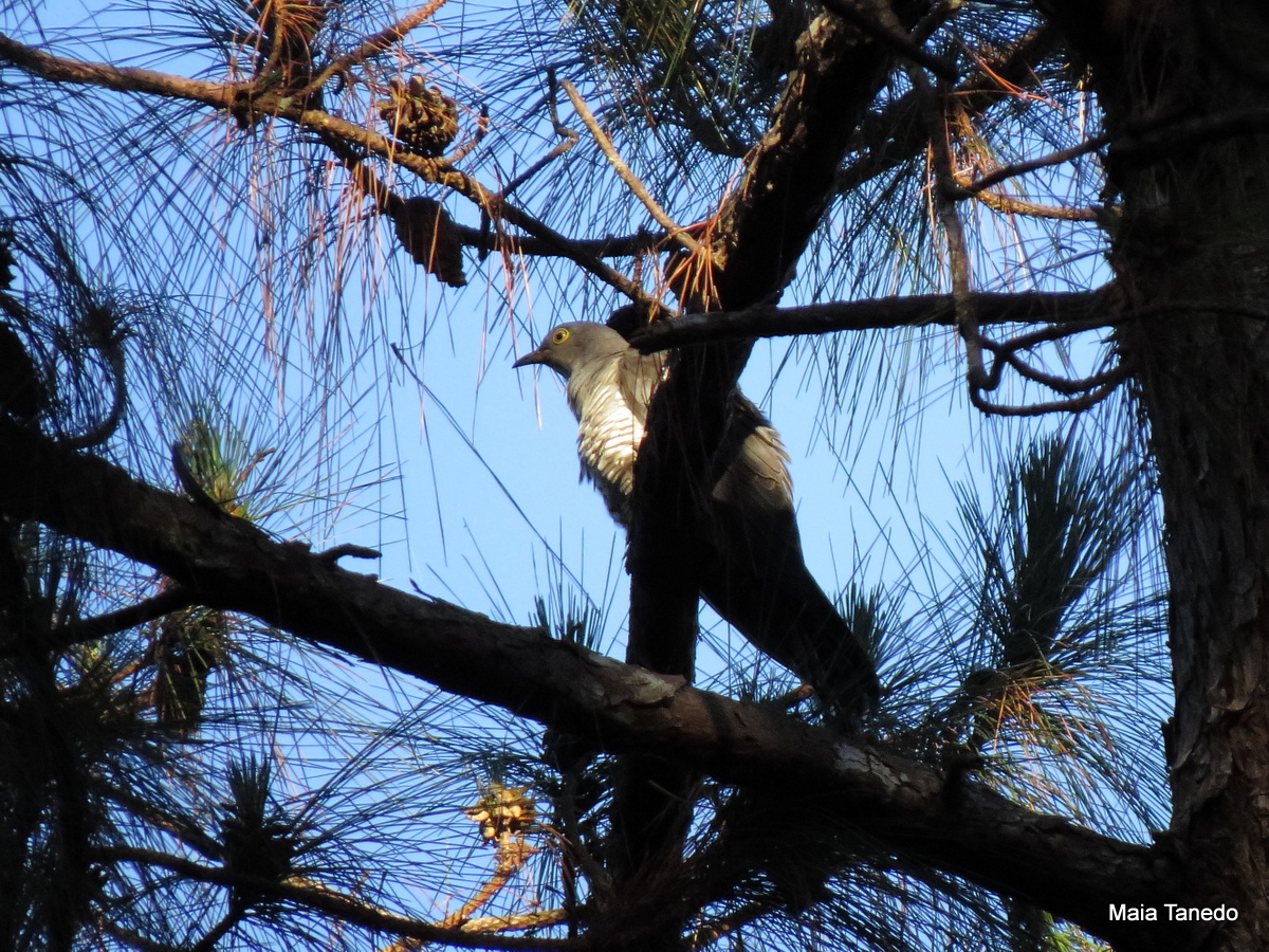 Oriental/Himalayan Cuckoo. Sadly, it did not call to be properly identified.